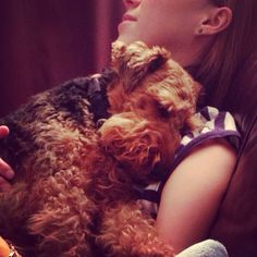 Welsh terrier. Snuggly and cwtchy.