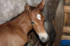 Serrano del Bosque – 2015 PRE Andalusian colt (Hercules G x Scheherazade HP)