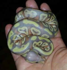Coral glow mojave ball python; what a mix of colors!---Even more beautiful in person. Wish I had one. :)