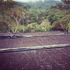 #natural #specialtycoffee #thrivefarmers #farmerdirect #knowwhogrows