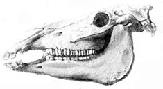 https://upload.wikimedia.org/wikipedia/commons/b/be/Horse_skull.png