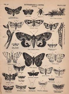 Ilustração de lepidopteros