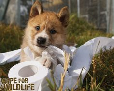 Use recycled toilet paper to help save Australian Wildlife! Save Wildlife, Silly Me, Toilet Paper, Animal Rescue, Corgi, National Parks, Recycling, Animals, Tips