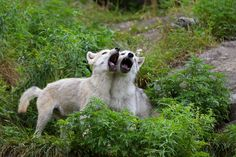 Photograph Wolf Song - Timber Wolf by Jim Cumming on 500px