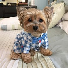 """Oliver, Sammy & Allie  on Instagram: """"Oliver  Happy Friday!  I want to thank my Aunt Lori @loripb817 for my birthday presents, toys and this handsome shirt! I feel dapper! ✌️ Thank you Aunt Lori! We love you!  I want to wish our buddy Mac @melandmac and Skip @missvanny07 a very happy birthday yesterday! """""""