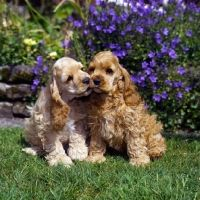 Picture of two american cocker spaniel puppies sitting on grass