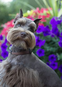 Mini Schnauzer.........such an unusual color but so beautiful
