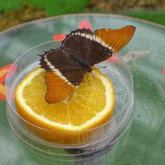 tropiske sommerfugler | tropical butterflies | tropische schmetterlinge