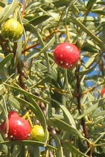 fresh quandongs on tree