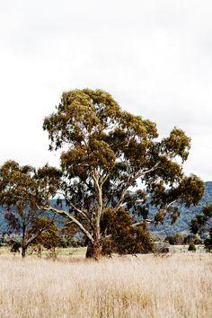 """Gum Tree"" Limited Edition Photographic Print by Kara Rosenlund. Myrtle, Kara Rosenlund, Australia Landscape, Australian Bush, Australia Travel, Farm Life, Photographic Prints, Large Prints, Countryside"