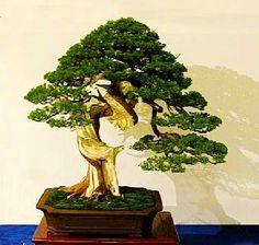 Fever Tree Bonsai Seed - Acacia xanthophloea