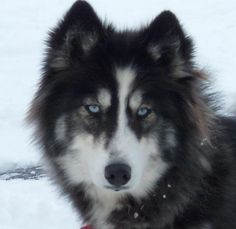 Just a husky mix. Looks way too doggy in the face to be wolf Husky Wolf Mix, Wolf Dog Puppy, Husky Puppy, Wolf Dogs, Wolf Dog Breeds, Beautiful Wolves, Beautiful Dogs, Animals Beautiful, Baby Animals