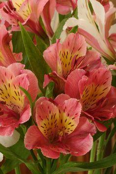 Alstroemeria by qorp38