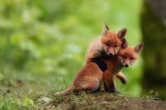 Filhotes de raposas...