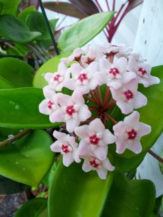 Hoya Plant-I own this the flowers have an almost artificial/plastic  feel to them