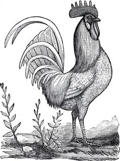 Public Domain Rooster Image! - The Graphics Fairy