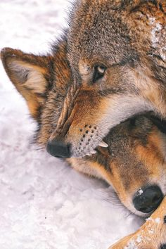 wavemotions:  Fighting wolves
