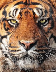 Tiger by Steve Mackay Via Flickr: Captive Tiger portrait.