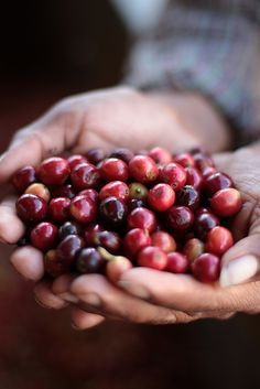 Freshly picked, ripe coffee cherries. spray appropriate fragrance before roasting! MMMMMMMM
