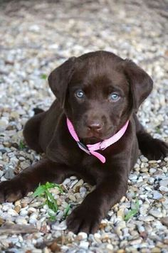 Chocolate Labrador pup ♡ Puppies With Blue Eyes, Brown Puppies, Cute Puppies, Cute Dogs, Dogs And Puppies, Doggies, Labrador Retriever Chocolate, Perro Labrador Retriever, Chocolate Lab Puppies