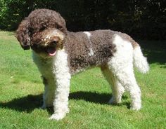 Lagotto Romagnolo Club of America Cute Puppies, Cute Dogs, Dogs And Puppies, Spanish Water Dog, Lagotto Romagnolo, Dog Search, All Dogs, Mans Best Friend, Dog Training