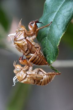 2 cicada exuvia in a Japanese garden