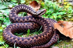 Snake, Nature Photography, Animals, Animales, Animaux, A Snake, Nature Pictures, Animal, Animais