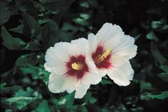 """Hibiscus syriacus - Rose of Sharon. == Replanting in late fall. 6 - 8' apart. Provide adequate water after replanting. Apply a 2 to 4"""" layer of mulch."""