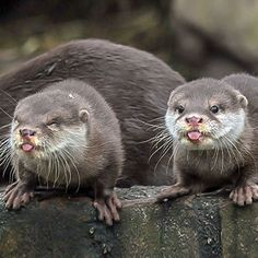 - In Otter News Otters Funny, Otters Cute, Baby Otters, Cute Funny Animals, Baby Sloth, Rare Animals, Animals And Pets, Wild Animals, Amazing Animal Pictures