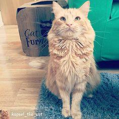@Regrann from @kapsel_the_cat -  #catlove #koty #kapsel #cats #catnap  #catsofinsta #catsofworld #catsoftheworld #catsofinstagram #bestmeow #bestcatsofinsta #purrfect #persiancat  #meowdel #mainecoon #tabby #turkishangoracat #gingertabby #orangecat #orangetabby #animalsaddict #instacat #instapet #instakitten #petstagram #instafollow #instamood #fluffy #best_meow #catfurnature