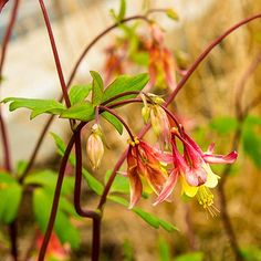 What flowers do Hummingbirds love? There are dozens of flowers they visit, but we share 15 flowers we call their favorites. Flowers Hummingbirds Like, Columbine Flower, Hummingbird Plants, Plants For Hanging Baskets, Butterfly Weed, Garden Yard Ideas, Edible Garden, Outdoor Gardens, Seeds
