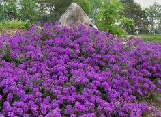 Moss Verbena may end up being your favorite groundcover.  It grows between 6 to 12 inches tall, but has a spreading capability of up to 5 feet.  It's easy to grow, is drought and heat tolerant, attracts butterflies and comes in blue, purple and white flowers. by flossie