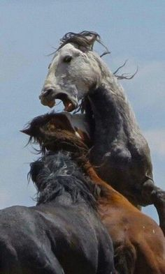 Two Wild Fighting Mustangs Getting Down and Dirty. All The Pretty Horses, Beautiful Horses, Animals Beautiful, Cute Animals, Horse Photos, Horse Pictures, Horse Drawings, Animal Drawings, Zebras