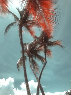 We miss these palm tree heads so much. Marie Galante, Amazing Destinations, Fun Drinks, Palm Trees, Caribbean, Tropical, Island, Music, Flowers