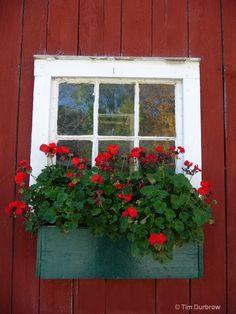 Red flower window box. Add sweet potato vine, purple petunias. Something white and lacy.