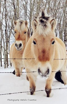 Norwegian Fjords horses in the snow. - Loving the camera