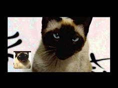 Game of Thrones opening sung by a cat