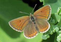 Plebeius artaxerxes Heimo: Sinisiipiset (Lycaenidae) Alaheimo: Lycaeniniae Tribus: Sinisiivet (Polyommatini) Suku: Plebeius Tuntomerkit: Lehtosinisiipi on keskikokoinen sinnisiipi; sen siipien kärkiväli on 26–31 mm. Molemmat sukupuolet ovat päältä ruskeat. Siipien reunassa on vaihtelevasti oransseja kuutäpliä, koirailla yleensä vain takasiivillä, naarailla sekä etu- että takasiivillä. Joiltakin koirailta täplitys puuttuu lähes kokonaan. (Toisaalta Ahvenanmaalla lentää lehtosinisiipiä…