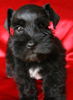 Black Miniature Schnauzer puppy so adorable ✨. I had one thatlooked just like this.... And he tried to eat everyone so I had to get rid of him lol