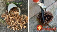 Muž zbieral celé mesiace šišky v lese: Keď susedia videli čo z nich vyrába, nechápali, že im to nenapadlo skôr! Acorn Crafts, Diy Crafts, Pine Cones, Homemade, Garden, Funguje To, Inspiration, Easter, Art
