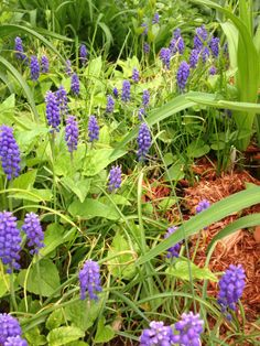 Grape Hyacinths May 23 2014 Starting A Garden, Weed, Grass, York, Plants, Marijuana Plants, Grasses, Plant, Herb