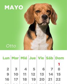 En el mes de Mayo Otto el Beagle.  Our doggie Calendar / foto @cmtamayo /  #dog #hound #beagle #beaglemania #beaglesofinstagram #dogstagram #dogoftheday #instagramdogs by tatiteran