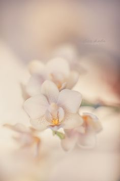 White Orchid Dream by Didier Kobi
