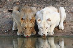 "The news about African lions is usually dire these days, as the species dwindles across its range. But Thiessen K. Musaah from Nakuru, Kenya, gave us a welcome break with his question about coat color. Why, he asked, are lions in South Africa's Kruger National Park ""fawn to golden white"" while their"