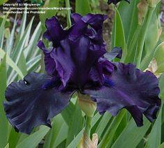Tall Bearded Iris 'Ghost Train' now in my garden