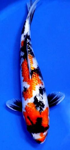 Slighted different types of fish paintings and charts for Expensive koi fish for sale