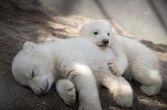 Deja lo que estés haciendo y mira a estas crías gemelas de oso polar