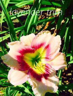 Lavender Trim daylily