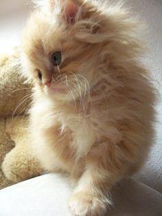 Adorable Little Fluffy Kitten Head Tilt