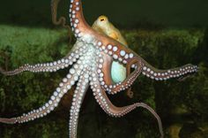 Why Don't Octopuses Tie Themselves in Knots? @Natalie Jost Brewer http://sulia.com/my_thoughts/077bade1-af65-4980-b950-911464300c77/?source=pin&action=share&ux=mono&btn=small&form_factor=desktop&sharer_id=124805973&is_sharer_author=true&pinner=124805973